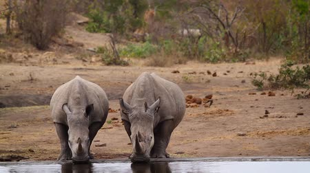 yırtıcı hayvan : Two Southern white rhinoceros drinking water in Kruger National park, South Africa; Specie Ceratotherium simum family simplex of Rhinocerotidae Stok Video
