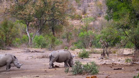 white rhino : Two Southern white rhinoceros walking in bushveld in Kruger National Park, South Africa; Specie Ceratotherium simum family simplex of Rhinocerotidae
