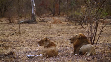 felidae : African lion couple lying down in Kruger National Park, South Africa; Specie Panthera leo family of Felidae Stock Footage