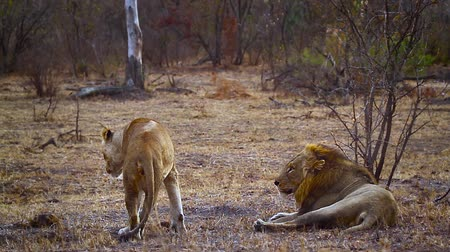felidae : African lion mating couple in Kruger National park, South Africa; Specie Panthera leo family of Felidae Stock Footage