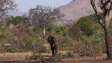 wildlife photography : African bush elephant in Kruger National park, South Africa; Specie Loxodonta africana family of Elephantidae Stock Footage