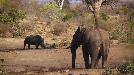 limpopo : Southern white rhinoceros chased by african bush elephant in Kruger National Park, South Africa; Specie Ceratotherium simum family simplex of Rhinocerotidae