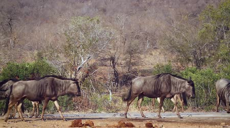 transfrontier : Small group of Blue wildebeest in waterhole in Kruger National park, South Africa; Specie Connochaetes taurinus family of Bovidae Stock Footage