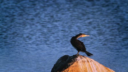 пресноводный : White breasted Cormorant spread wings in Kruger National park, South Africa; Species Phalacrocorax lucidus family of Phalacrocoracidae Стоковые видеозаписи