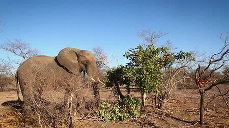 lowland : African bush elephant eating in Kruger National park, South Africa; Specie Loxodonta africana family of Elephantidae Stock Footage