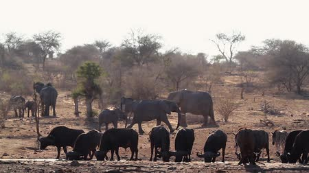 eswatini : African buffalo, african elephant and zebra drinking in waterhole in Kruger National Park, South Africa