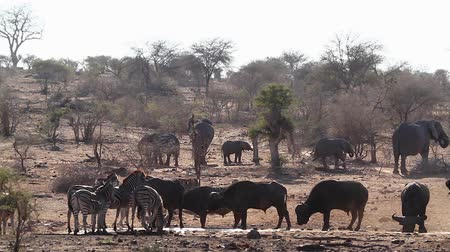 savana : African buffalo, african elephant and zebra drinking in waterhole in Kruger National Park, South Africa