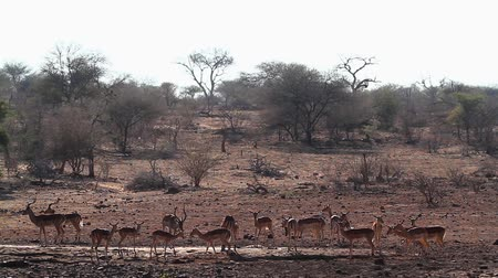 transfrontier : Common Impala group by waterhole in Kruger National Park, South Africa; Specie Aepyceros melampus family of Bovidae