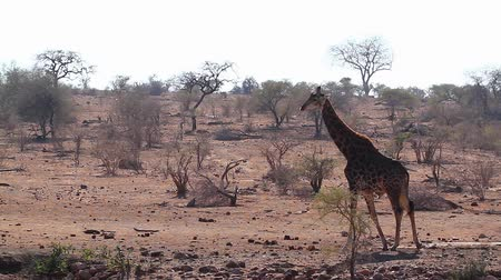 rezerv : Giraffe walking in dry savannah in Kruger National Park, South Africa; Giraffa Specie camelopardalis family of Giraffidae Stok Video