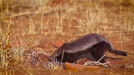 eswatini : Honey badger looking for food in Kruger National Park, South Africa; Specie Mellivora capensis family of Mustelidae Stock Footage