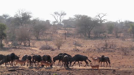 transfrontier : Blue wildebeest herd in waterhole with impala in Kruger National park, South Africa; Specie Connochaetes taurinus family of Bovidae