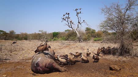 necked : White backed Vulture group on hippopotamus carcass in Kruger National Park, South Africa; Specie Gyps africanus family of Accipitridae