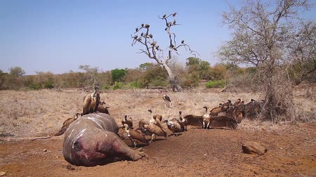 accipitridae : White backed Vulture group on hippopotamus carcass in Kruger National Park, South Africa; Specie Gyps africanus family of Accipitridae