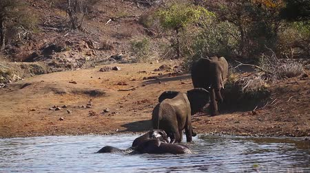 wildlife photography : African bush elephant group bathing in Kruger National Park, South Africa; Specie Loxodonta africana family of Elephantidae Stock Footage