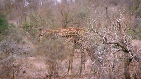 limpopo : Two Giraffes parade necking in Kruger National Park, South Africa; Giraffa Specie camelopardalis family of Giraffidae