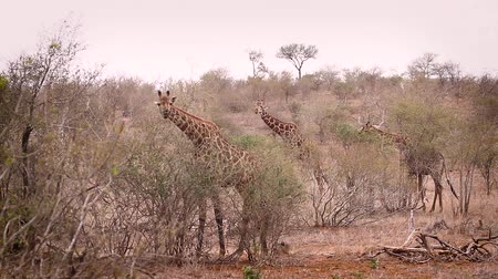 limpopo : Three Giraffes eating in dry savannah in Kruger National Park, South Africa; Giraffa Specie camelopardalis family of Giraffidae