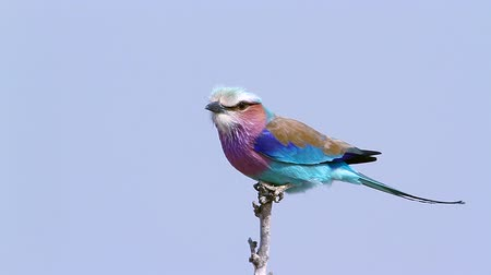 limpopo : Lilac breasted roller isolated in blue background in Kruger National Park, South Africa; Specie Coracias family caudatus Coraciidae Stock Footage