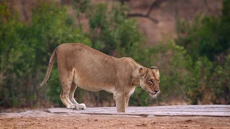 limpopo : African lioness in Kruger National park, South Africa; Specie Panthera leo family of Felidae