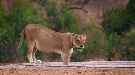 felidae : African lioness in Kruger National park, South Africa; Specie Panthera leo family of Felidae