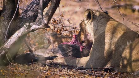 limpopo : African lioness with cub eating in Kruger National park, South Africa; Specie Panthera leo family of Felidae