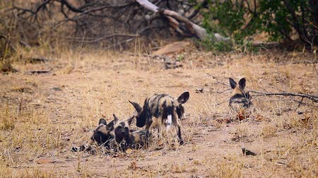 jachthonden : Small group of young African wild dog in Kruger National park, South Africa; Specie Lycaon pictus family of Canidae