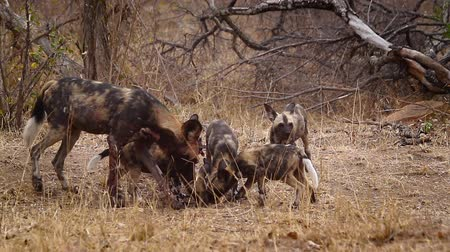 jachthonden : African wild dog mother feeding her cubs in Kruger National park, South Africa; Specie Lycaon pictus family of Canidae Stockvideo