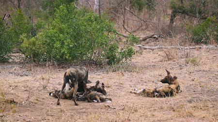 African wild dog couple with cubs in Kruger National park, South Africa; Specie Lycaon pictus family of Canidae Dostupné videozáznamy