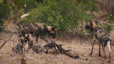 African wild dog couple with cubs in Kruger National park, South Africa; Specie Lycaon pictus family of Canidae Stockvideo