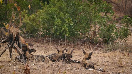 limpopo : African wild dog mother feeding her cubs in Kruger National park, South Africa; Specie Lycaon pictus family of Canidae Stock Footage