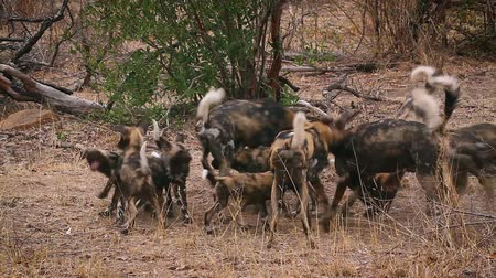 Pack of African wild dog adults and young in Kruger National park, South Africa; Specie Lycaon pictus family of Canidae