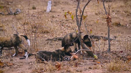 Pack of young African wild dog playing in Kruger National park, South Africa; Specie Lycaon pictus family of Canidae Stockvideo