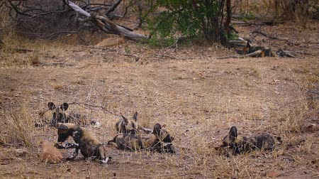 jachthonden : Pack of young African wild dog playing in Kruger National park, South Africa; Specie Lycaon pictus family of Canidae Stockvideo