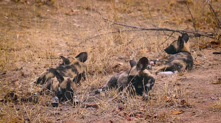endangered species : Pack of young African wild dog playing in Kruger National park, South Africa; Specie Lycaon pictus family of Canidae Stock Footage
