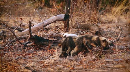 Pack of young African wild dogs playing in Kruger National park, South Africa; Specie Lycaon pictus family of Canidae