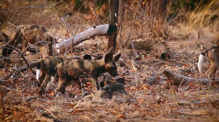 limpopo : Pack of young African wild dogs playing in Kruger National park, South Africa; Specie Lycaon pictus family of Canidae