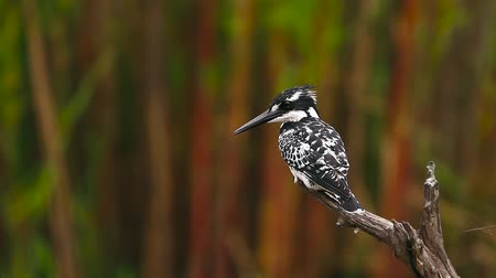 zimbabwe : Pied kingfisher grooming isolated in natural background in Kruger National park, South Africa; Specie Ceryle rudis family of Alcedinidae