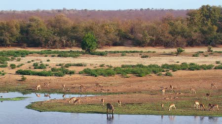 Herd of impalas in riverbank Wilderness scenery in Kruger National park, South Africa