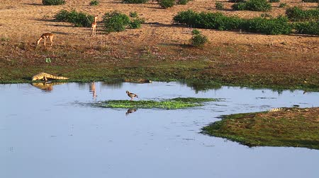 копытное : Nile crocodile, impalas and egyptian goose in Riverbank scenery in Kruger National park, South Africa;