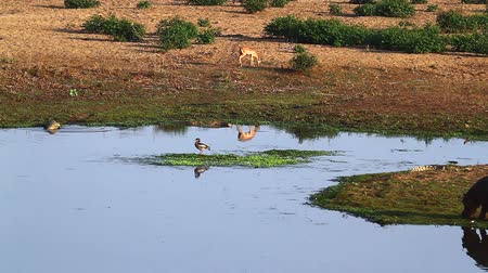 Hippopotamus, Nile crocodile, impalas and egyptian goose in Riverbank scenery in Kruger National park, South Africa;