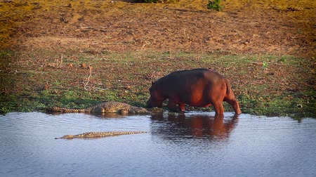 Hippopotamus chasing Nile crocodile on riverside in Kruger National park, South Africa; Specie family of