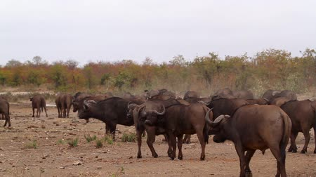 Herd of African buffalo on the move in Kruger National park, South Africa; Specie Syncerus caffer family of Bovidae