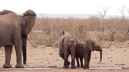 Two young African bush elephant with mother in waterpond during drought in Kruger National park, South Africa; Specie Loxodonta africana family of Elephantidae
