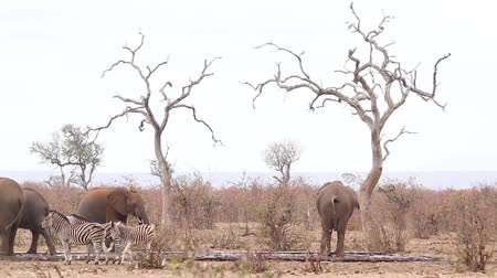limpopo : African bush elephant herd in waterpond during drought with plains zebras in Kruger National park, South Africa; Specie Loxodonta africana family of Elephantidae Stock Footage