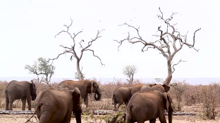 African bush elephant herd in waterpond during drought with plains zebras in Kruger National park, South Africa; Specie Loxodonta africana family of Elephantidae Dostupné videozáznamy