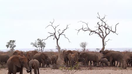 limpopo : African bush elephant herd in waterpond during drought in Kruger National park, South Africa; Specie Loxodonta africana family of Elephantidae