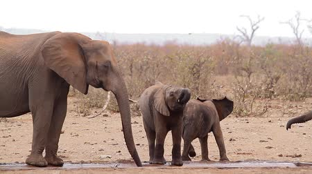 fil : Two young African bush elephant with mother in waterpond during drought in Kruger National park, South Africa; Specie Loxodonta africana family of Elephantidae