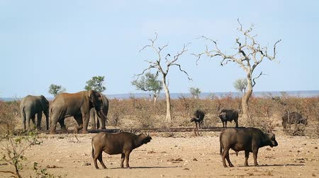 African buffalo and african bush elephants drinking in waterhole in Kruger National park, South Africa; Specie Syncerus caffer family of Bovidae