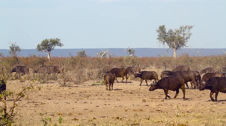 African buffalo herd walking in dry savannah in Kruger National park, South Africa; Specie Syncerus caffer family of Bovidae