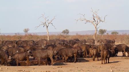 African buffalo herd drinking in waterhole during drought in Kruger National park, South Africa; Specie Syncerus caffer family of Bovidae