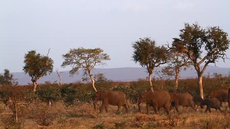 Small group of African bush elephants walking in dry savannah in Kruger National park, South Africa; Specie Loxodonta africana family of Elephantidae Dostupné videozáznamy